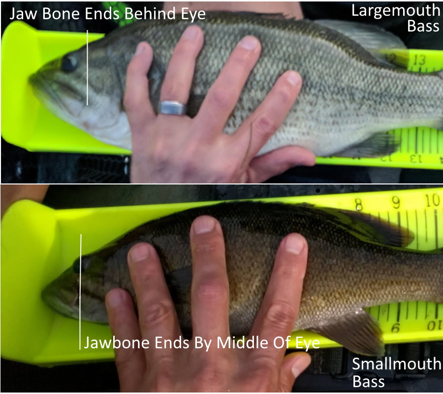 Difference Between Largemouth And Smallmouth Bass