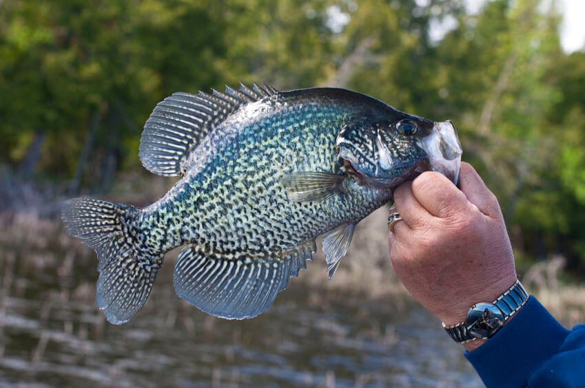 Is Crappie Good To Eat